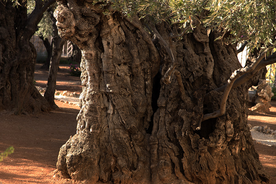 Some of the olive trees still standing in the traditional Garden of Gethsemane on the Mount of Olives are at least 1,800 years old and may have been silent witnesses to the Lord's agony.