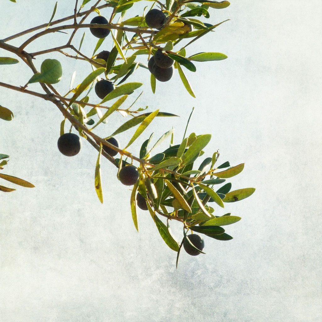 olive-branch