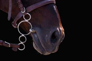 The lips of the Horse in bridle close. The sight of a horse. Horse isolated on black. Thoroughbred horse chestnut suit.
