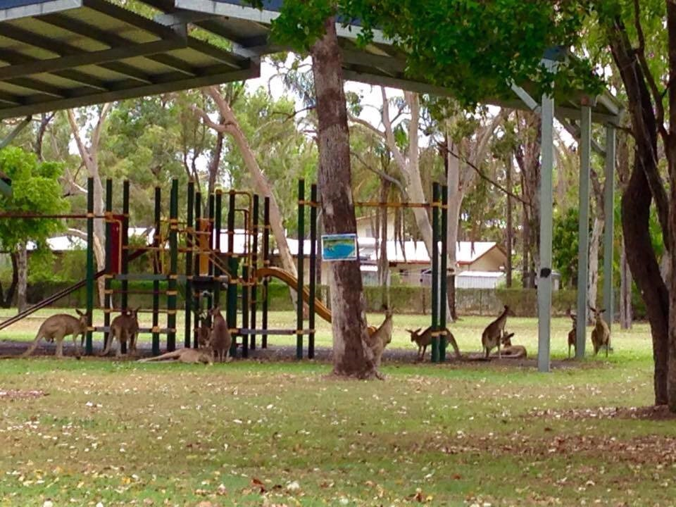 Roos in the park across the street