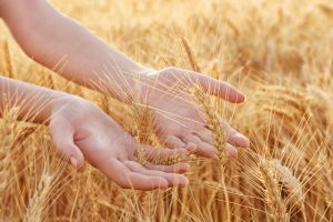 Woman touching wheat on a field