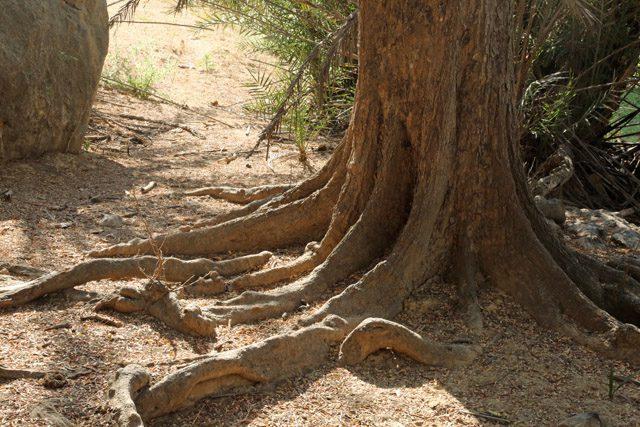 Large, hardwood trees at Khor Kharfot.