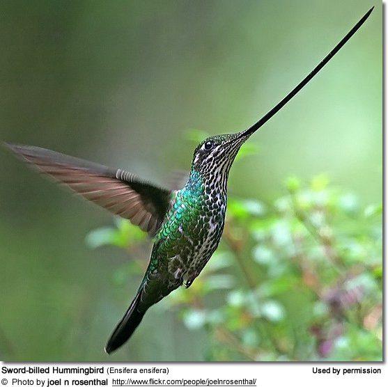 Picture #5 - Sword-billed_Hummingbird