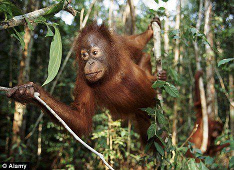 Picture #8 - Orangutan.jpg