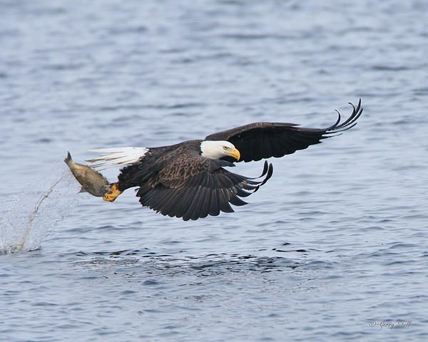 Picture #6 - eagle catching salmon