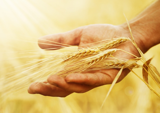 Wheat_ears_in_the_hand_Harvest